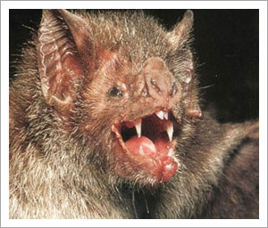 Ugly bats use mighty jaws to tear tough hides