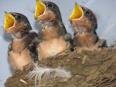 Baby birds can do arithmetic