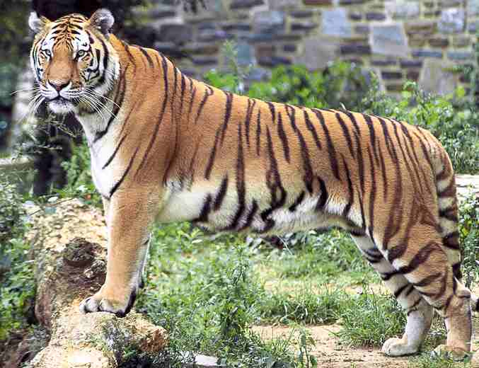 Tigers attack animal trainer