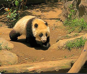 Rare brown panda cub discovered in China