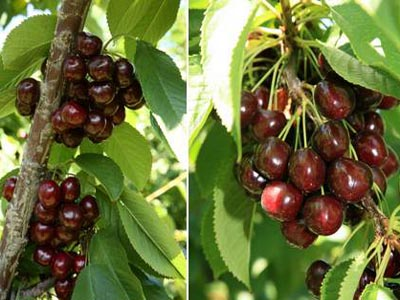 Good weather ensures bumper cherry production in Valley