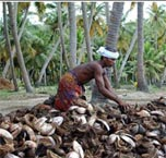 Coconut farmers defy government ban on production of ''Toddy ...