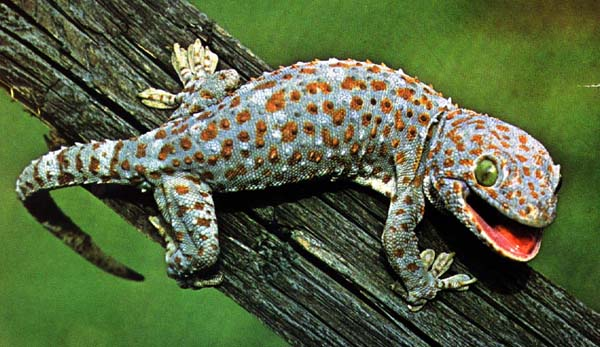 The tiny pinkish brown gecko