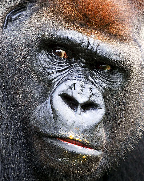 Gorilla face - photo#12