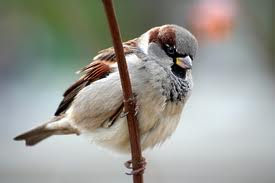 House sparrow might face extinction if not protected, warn activists