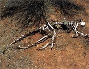 Kangaroo bones may solve 5,000 yr old Aussie population explosion mystery