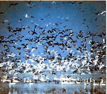 Migratory birds in arrive Orissa