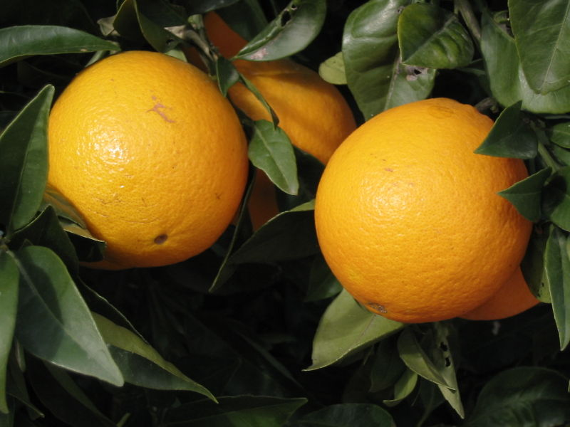 Oranges Cultivation