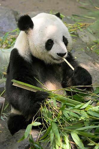 Panda breeders using ''porn'', ''sexercises'' to encourage mating
