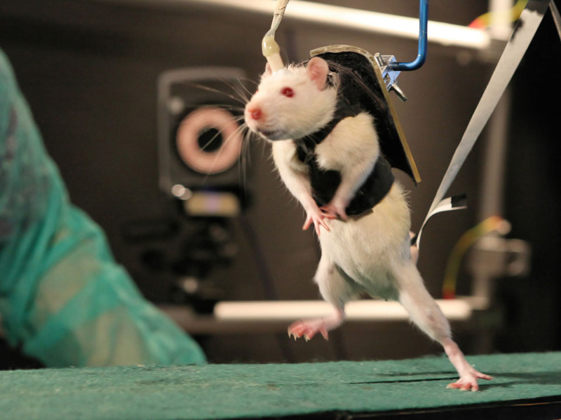 Scientists successful is making paralyzed rats walk