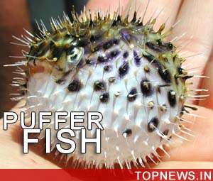 Malaysian fisherman dies after eating puffer fish