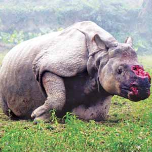 Rhino poaching in Assam's Kaziranga Park