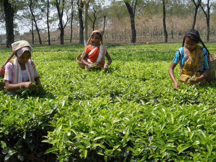 Tea output from Assam's Barak valley falls