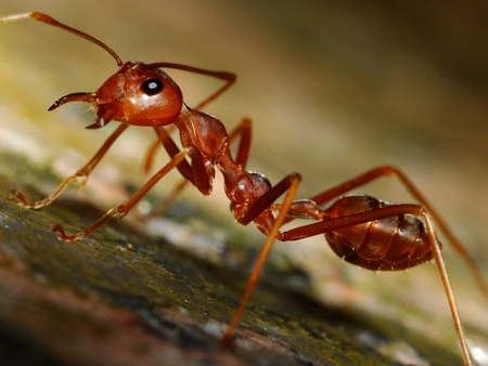 Temnothorax Ants
