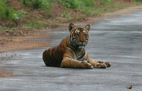 Tiger poisoned at Nagarahole National Park