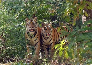 Valmikinagar Tiger Sanctuary