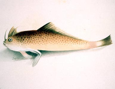 Walking fish found in england topnews for Fish that walk on land