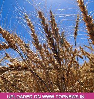 Commodity Trading Tips for Wheat by KediaCommodity