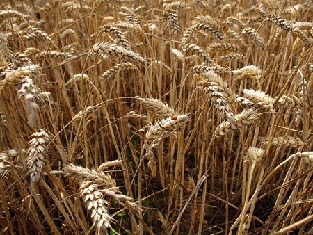 Australian wheat production to fall 24 per cent, estimates