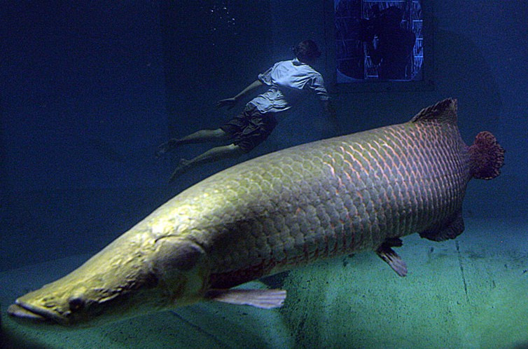 Giant amazon arapaima fish may be threatened by for Fish in the amazon