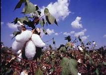 CAB fears decline in cotton production, revises estimates