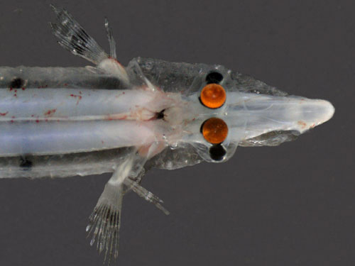 Fish With Transparent Head