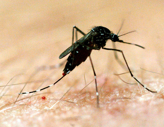 New mosquito species may be responsible for rising number of dengue cases