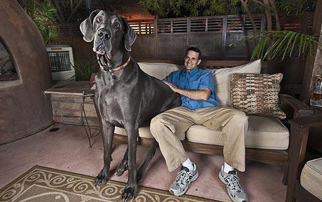 Largest Great Dane http://www.topnews.in/meet-george-7ftlong-blue-great-dane-who-could-be-worlds-tallest-dog-2246712