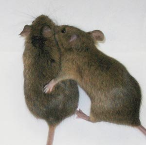 Frisky Mice