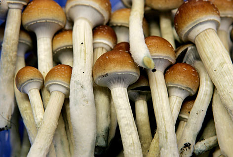 Mushroom farming becoming popular in Himachal