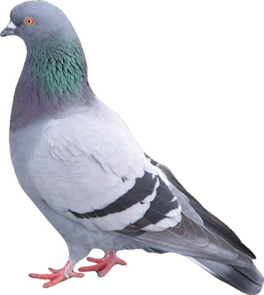 http://www.topnews.in/files/pigeon3.jpg