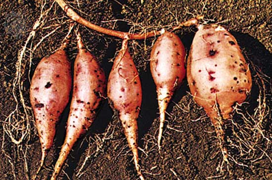 Sweet potato grows roots in outer space