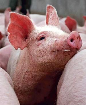 Swine flu 'more serious than hydrogen bomb': Muslim Brotherhood