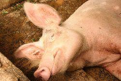 Japan ups health inspections, seeks vaccines against swine flu
