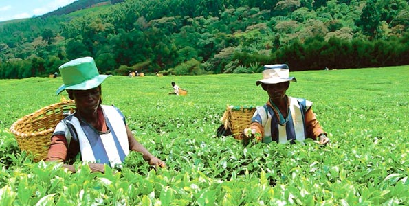 Tea sector hit by crisis: Rs 2,800-cr package awaits Centre's nod