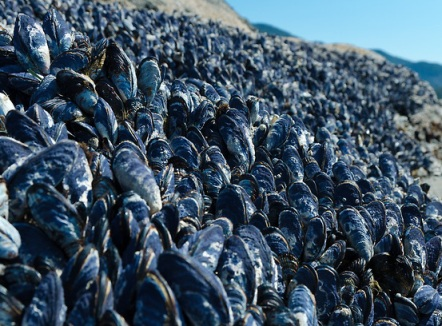 Acidic' oceans wiping out mussel population