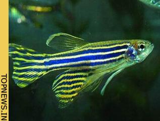 Lo 'zebrafish' anti-tumorale Zebrafish_0