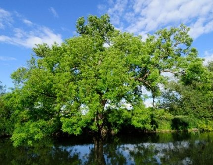 Ash tree genome aids fight against fungal disease
