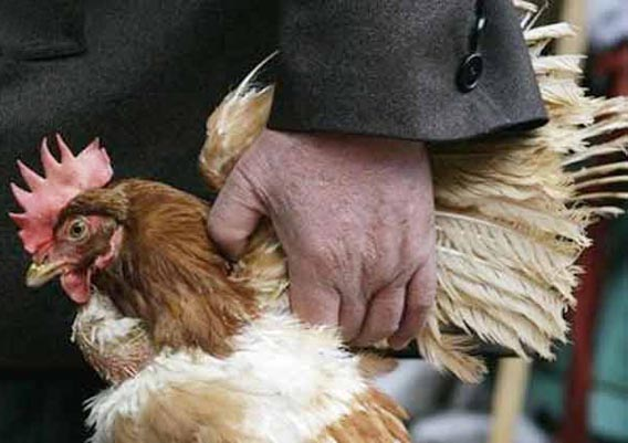 Manipur hit by bird flu, culling of poultry begins