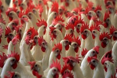 Over 6,200 poultry culled after fresh flu in Tripura