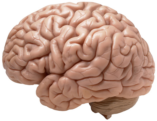 Did you know! Part of brain continues to grow even in adulthood