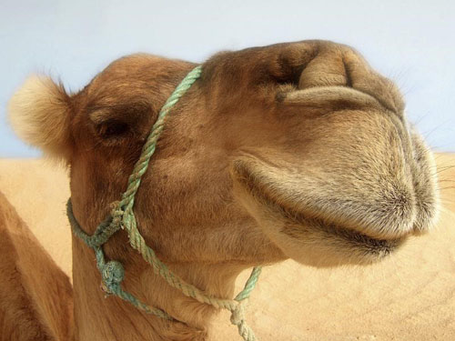 Camels carry deadly virus: Study