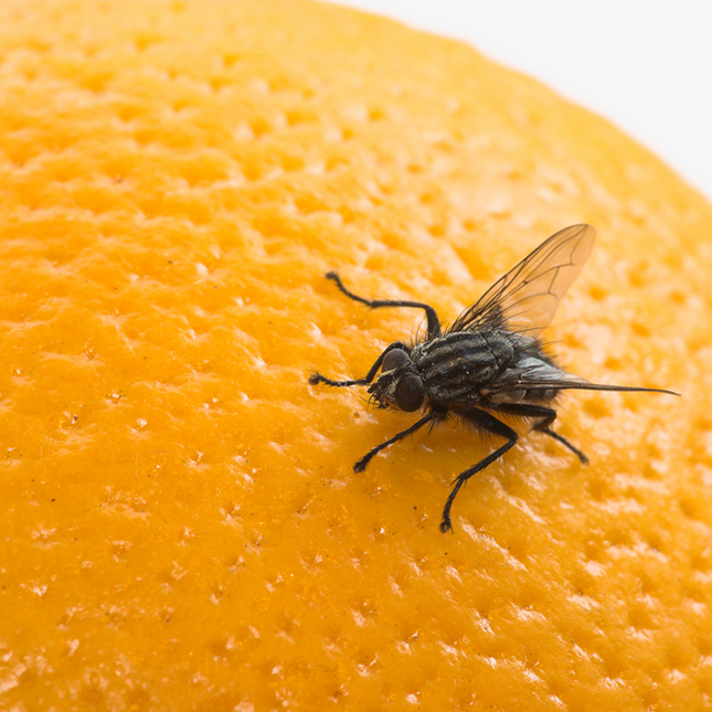 Fruit flies can help unlock mysteries of human diabetes