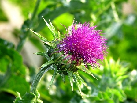 Milk thistle protects against skin cancer