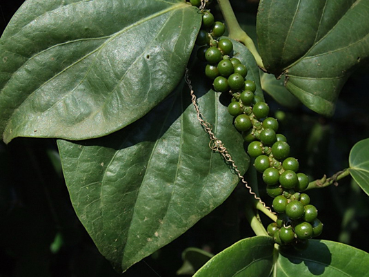 Anti-cancer properties discovered in pepper plant