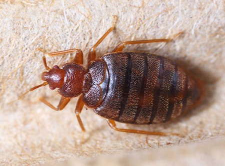 Educating about bed bugs promote awareness, prevention in schools