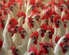 Bird flu resurfaces in Tripura