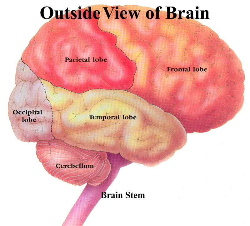 Major structures of the brain alcohol and the brain a shot on major structures of the brain alcohol and the brain a shot on addiction ccuart Image collections