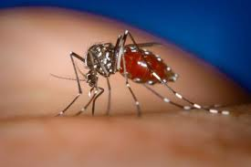 Spermless mosquitoes could prove effective in tackling dengue fever