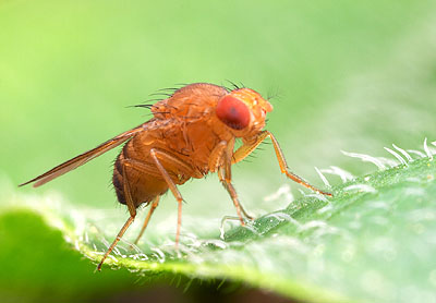New find: brain tumours in fruit fly mimic genetic program of germline cells